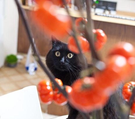 かぼちゃ?トマト?おこじょのミ。