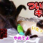 またたびの取り合いで猫パンチ!