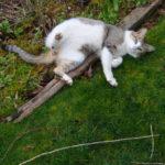 シアトルで猫のちび太の貰い手探してます。